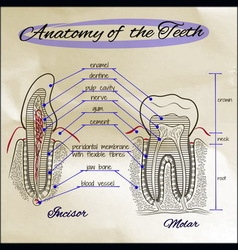 Anatomy of The Teeth Sepia vector image