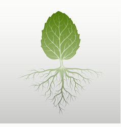 peppermint leaf with root vector image
