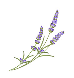 Bunch lavender flowers on a white background vector