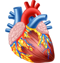 Cartoon of Human Hearth Anatomy vector image vector image