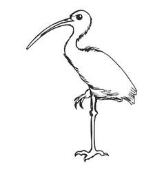 Sketch ibis vector