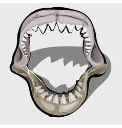 Toothy jaw of a shark with an open mouth vector image vector image