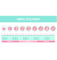 infographic with stages of pregnancy and embryo vector image