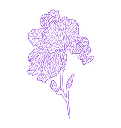 Violet irise vector