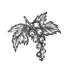 black currant hand drawn sketch fruit vector image