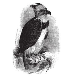 harpy eagle vintage vector image