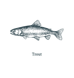 trout fish graphic sketch in vector image