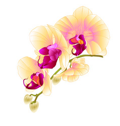 Stem with flowers and buds beautiful orchid vector