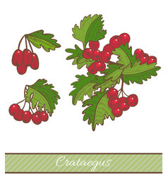 colored crataegus branch in hand drawn style vector image
