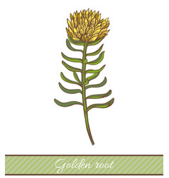 Colored golden root in hand drawn style vector