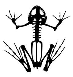Skeleton of frog vector