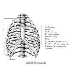 anatomy of human ribs hand draw vintage clip art vector image