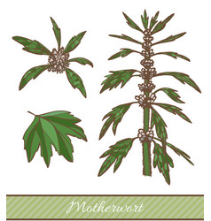 colored motherwort plant in hand drawn style vector image