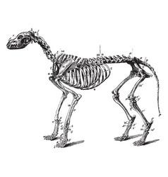 Skeleton of a dog vintage vector