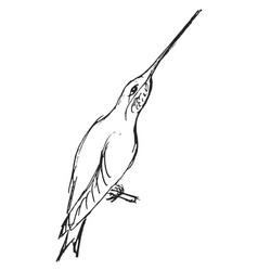 sketch hummingbird vector image