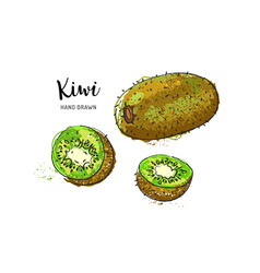 kiwi fruit drawing watercolor on a white vector image