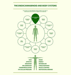 endocannabinoid and body systems infographic vector image