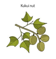 Kukui nut aleurites moluccanus or candlenut vector