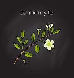 myrtle or myrtus communis vector image vector image