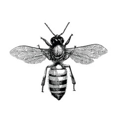 Bee hand drawing vintage engraving isolate on vector