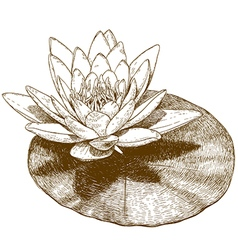 engraving water lily vector image vector image