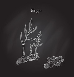 hand drawn ginger plant vector image vector image