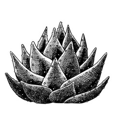 succulent leaves agave cactus hand drawn vector image