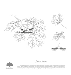 The contour image of a maple branch vector image vector image