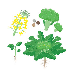 broccoli plant life cycle growing stages set of vector image