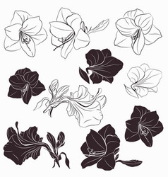 collection hippeastrum flowers shapes in line vector image