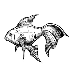 sketch gold fish vector image