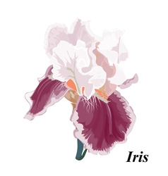 Beautiful Iris vector image vector image