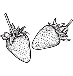 drawing of the ripe strawberries vector image