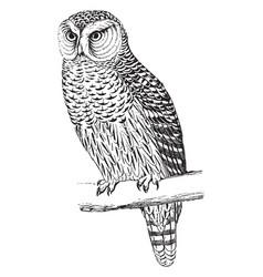 Hawk owl vintage vector