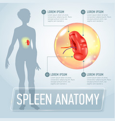 Infographic poster with spleen and vector