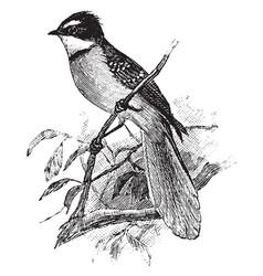 Fan tailed flycatcher vintage vector