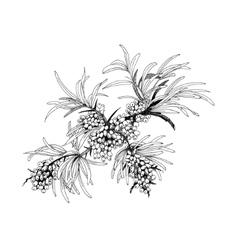 Buckthorn berries vector image vector image