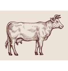 Sketch cow Hand drawn vector image