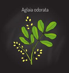 Aglaia odorata medicinal plant vector