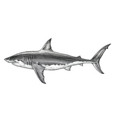 great white shark hand drawing vintage engraving vector image