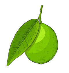 lime fruit with leaf hand drawn colored sketch vector image
