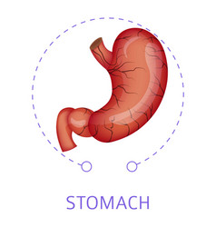 Stomach isolated icon digestive system internal vector
