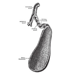 Gall bladder and bile ducts vintage vector