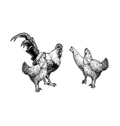 hens and cock vector image