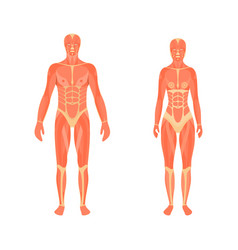 medical 3d of the male and vector image vector image