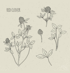 Red clover medical botanical isolated vector