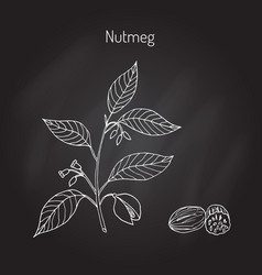 kitchen spices nutmeg vector image