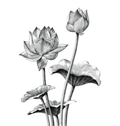 Lotus flower hand drawing vintage engraving style vector