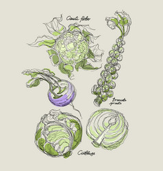 Drawing of cabbage set vector