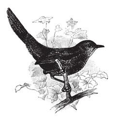 Rufous scrub bird vintage vector